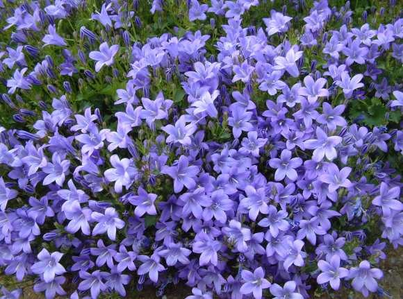 A bunch of periwinkle