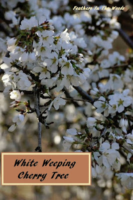 Caring for the White Weeping Cherry Tree