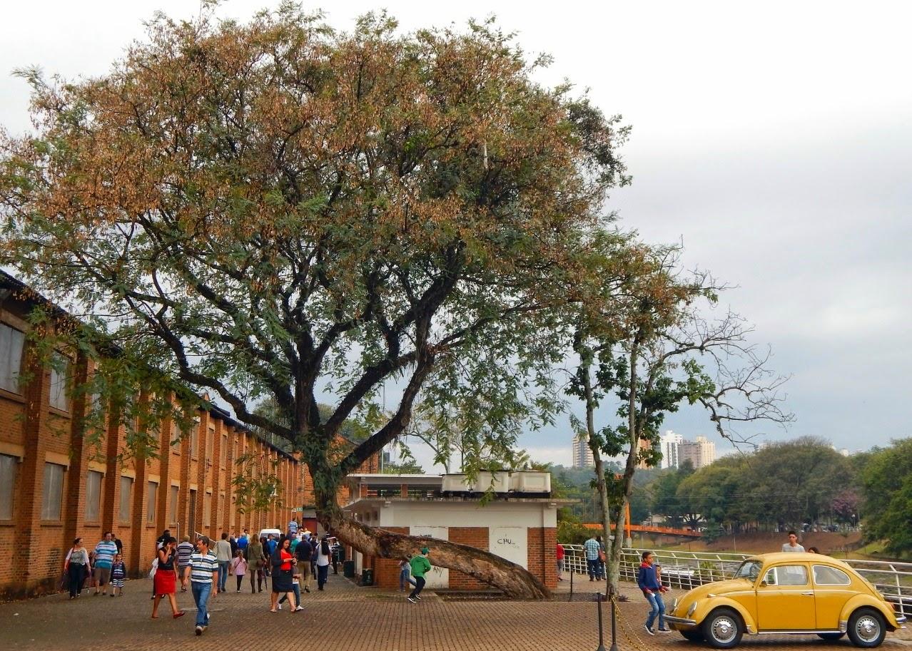 Essa árvore no Engenho Central de Piracicaba é um exemplo de perseverança. Alguém - ou algo - a quis derrubar, mas ela seguiu forte, encontrando um novo ponto de equilíbrio.
