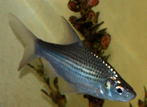Galaxie Joran: Jenis Ikan Air Tawar