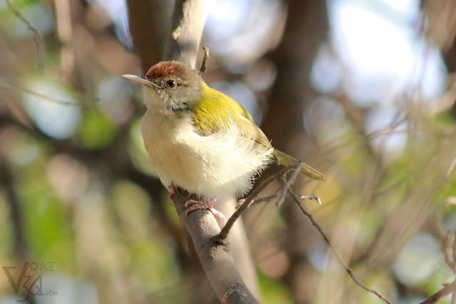 Common Tailorbird(10-14 cm) - Hebbal, Bengaluru