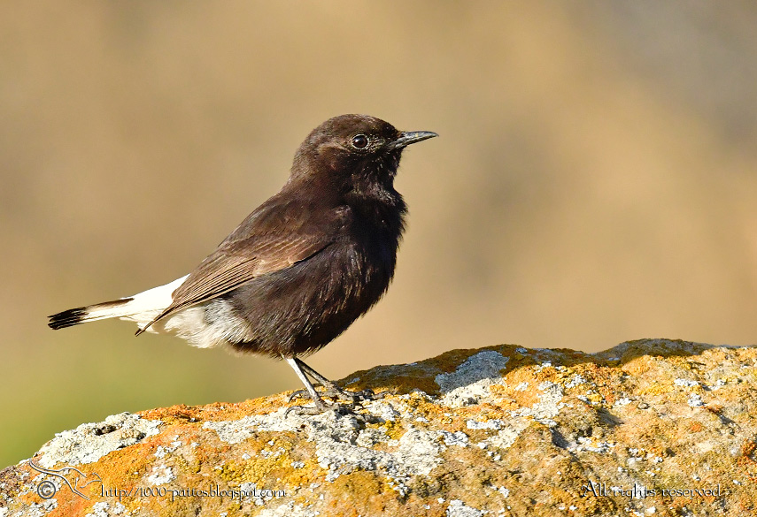 A Rarity : The Black Wheatear