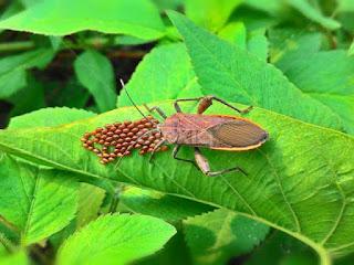 perbedaan-kepik-dan-kumbang.jpg
