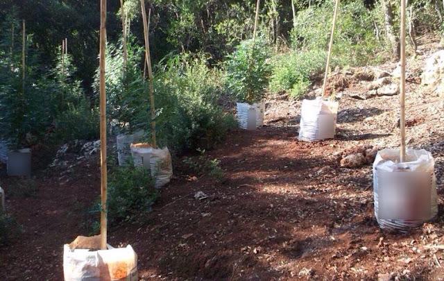 Φυτεία δενδρυλλίων κάνναβης εντόπισε η αστυνομία στη Μεσσηνία