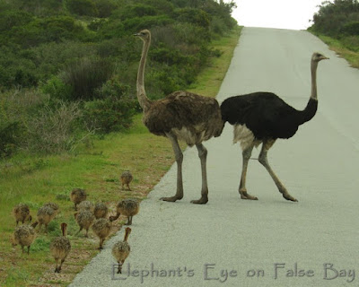 Ostriches in West Coast NP