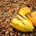 Maggi defende valorização dos agricultores na produção de cacau