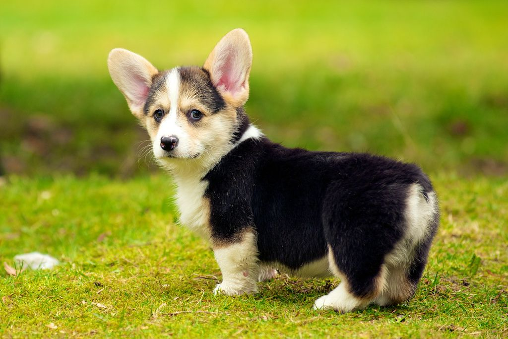 16. Corgi Puppies