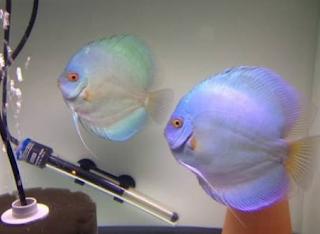Cara mudah mengetahui ciri ciri ikan discus jantan dan betina