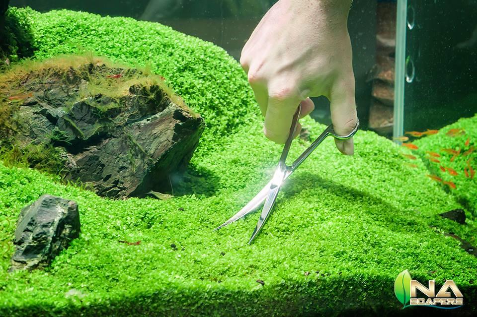Nên cắt tỉa để trân châu mọc đều và đẹp hơn trong hồ thủy sinh