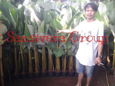 Heliconia-pisang-kalatea