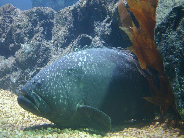 Ikan Kerapu Kertang