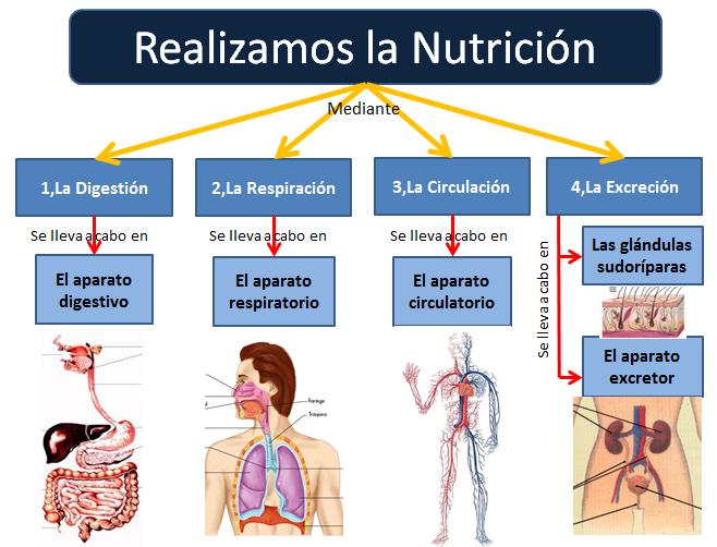 """La Respiracion En El Ser Humano: Ciencias Naturales. Tema: """"La Nutrición Humana II"""": 1.El"""