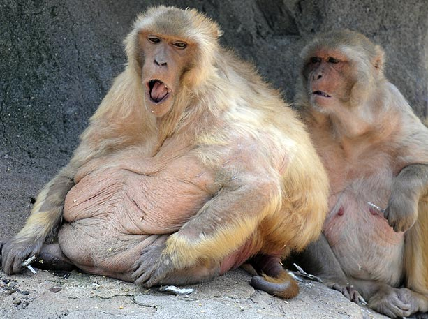 Fat Monkies 100