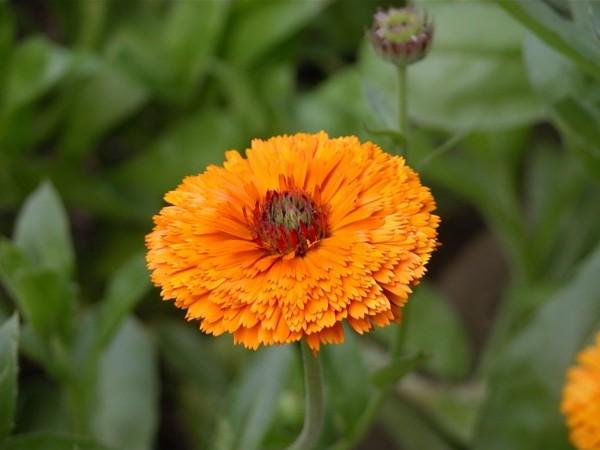 10 Manfaat Bunga Calendula untuk Pengobatan dan Kecantikan