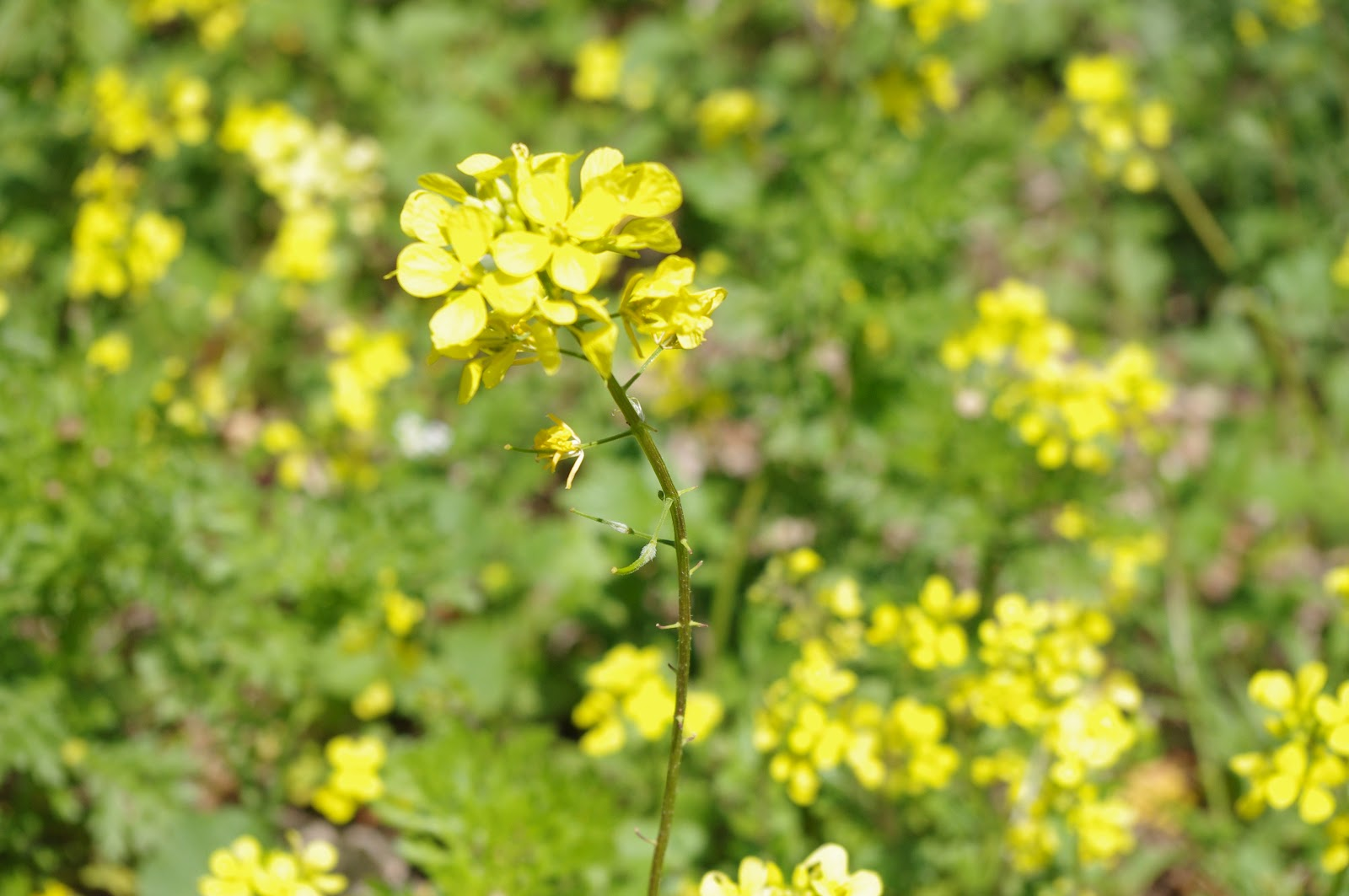 A letter from israel the wild mustard flowers of israel the wild mustard flowers of israel mightylinksfo