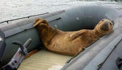 Anjing Laut ini Curi Perahu dari Pasangan Pengantin Baru
