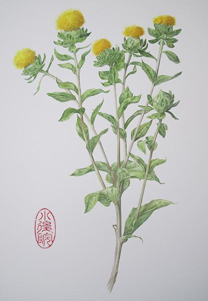 Carthamus Tinctorius Safflower: The Backyard Botanist: Safflower Carthamus Tinctorius