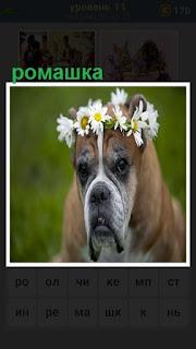 на голове собаки положено несколько цветов ромашки