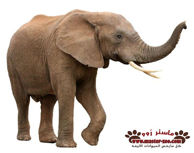 الفيل وأنواعه وماهو غذائه elephant