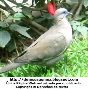 Paloma, pertenece al reino animalia. Foto de paloma tomada por Jesus Gómez
