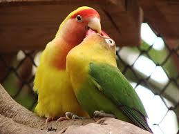 lovebird over birahi, lovebird birahi
