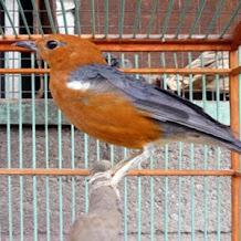 Cara Terapi Menghilangkan Stress Burung Anis Merah, Kacer Dan Tledekan
