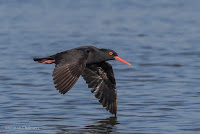 Birds in Flight Photography: Testing EOS iTR AF on the Canon EOS 7D Mark II