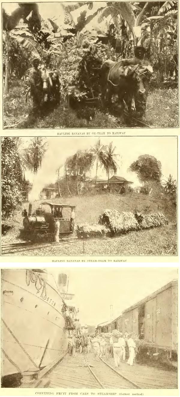 piantagione banane sosua