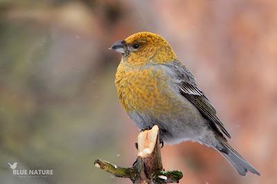 Hembra de camachuelo picogrueso - Pine grosbeak female - Pinicola enucleator. El plumaje es mas verde amarillento, también precioso y mezclado con algunas plumas de color gris claro. En algunos casos el gris puede dominar sobre el verde-amarillo.