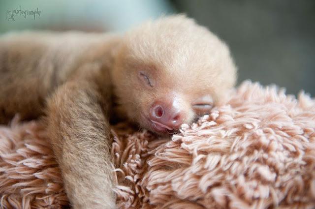 Conheça o Instituto na Costa Rica dedicado ao estudo e preservação dos Bichos Preguiça