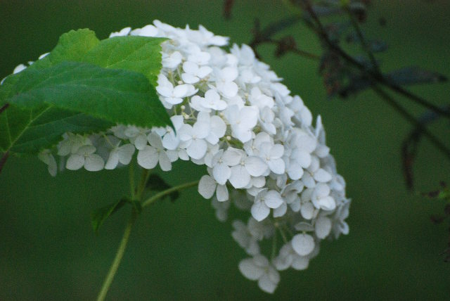 hortensia, kesä, elokuu, summer, finland