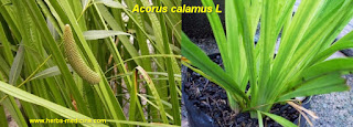 Benefits Acorus Calamus  for Organic Pesticides