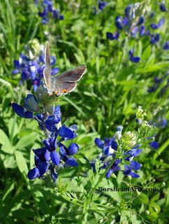 Texas bluebonnets with butterfly