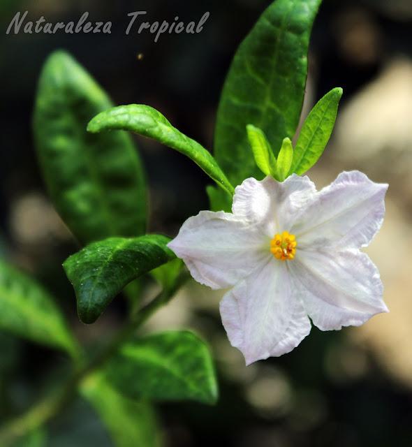 Otra imagen de las flor característica de la planta Solanum havanense