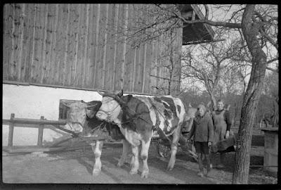 Rinder als Zugtiere vor einem Wagen - Gars am Inn - 1930-1950
