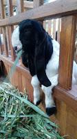 Rumput odot , Hijauan Pakan Kambing Domba Tinggi Nutrisi - Beternak Kambing Domba