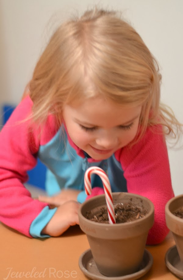 HOW TO GROW A CANDY CANE. Christmas magic for kids. #growacandycaneforkids #growacandycane #howtogrowacandycane #candycanecraftsforkids #candycaneactivities #candycaneseeds #candycanescience #christmascrafts #christmascraftsforfamilies #growingajeweledrose #activitiesforkids