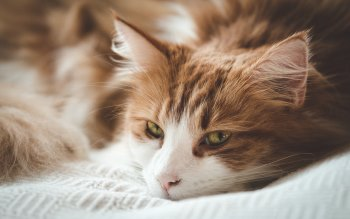 Wallpaper: Beautiful Sleepy Cat