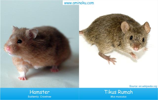 Perbedaan hamster dan tikus rumah