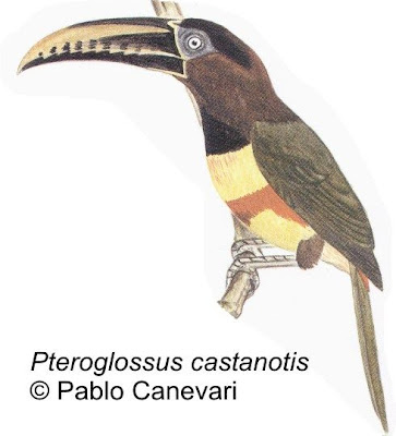 Chestnut eared Aracari