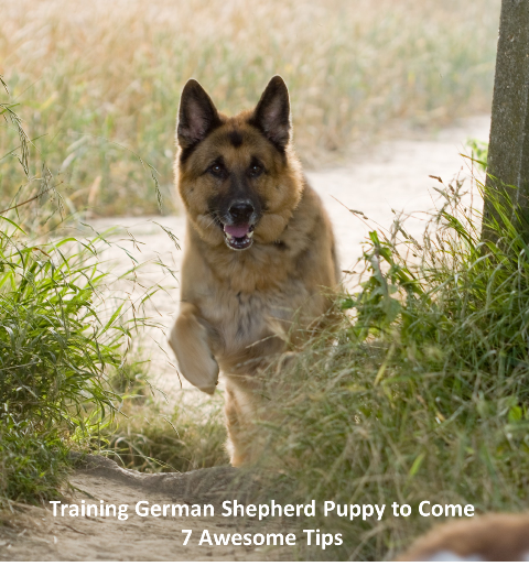 Training German Shepherd Puppy to Come
