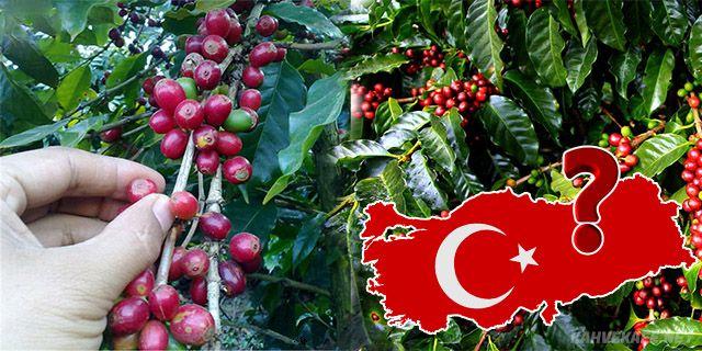 Türkiye'de kahve bitkisi yetişir mi - www.kahvekafe.net