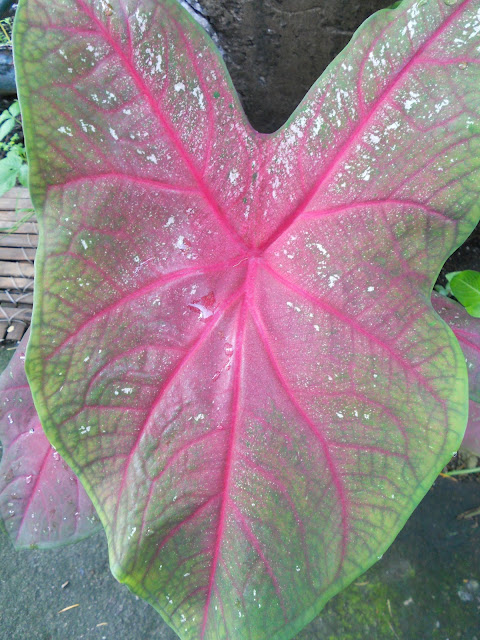 heart-shaped caladium