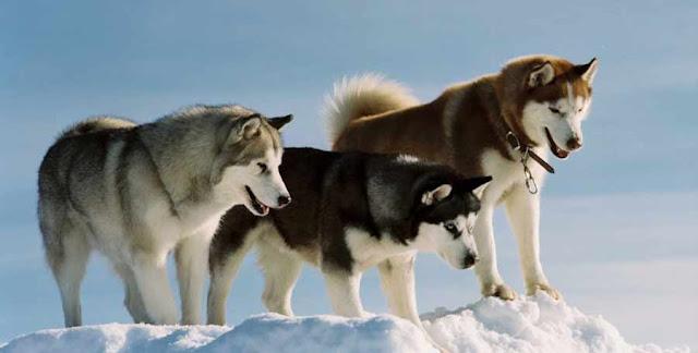 Chó Husky Sibir