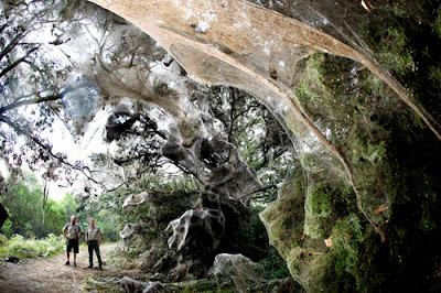 Ebhart y su compañero encontraron varias de las trampas de la araña gigante en Congo