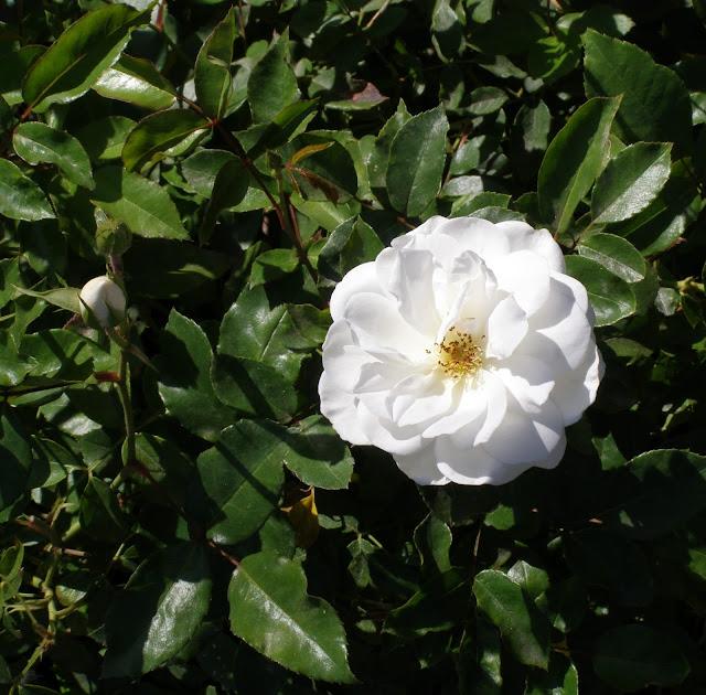 truskot, rose floribunda, iceberg,