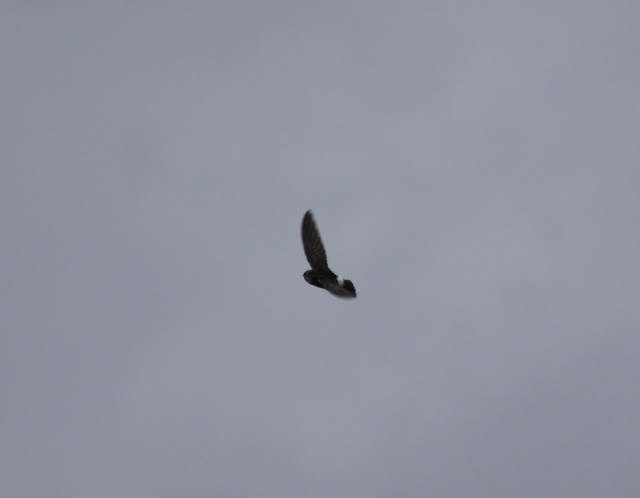 Little Swift - New Brighton, UK