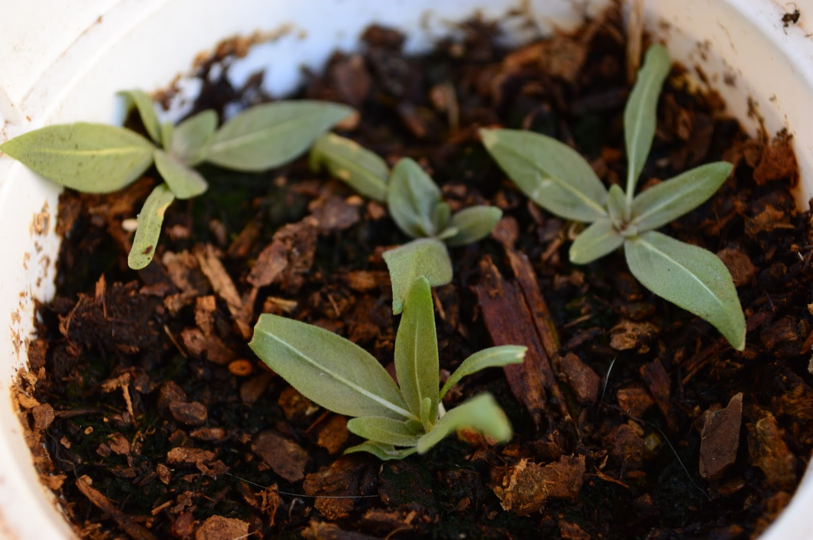 "Oenothera pallida ""Innocence"", seedlings, seedstarting"