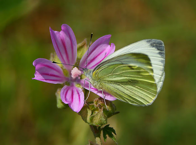 Green veined white butterfly on Malva preissiana (Australian Hollyhock, Native Hollyhock) flower