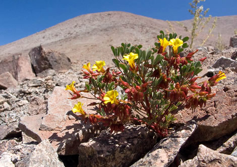 Oxalis flower (Oxalis carnosae) growing in the Atacama at extremely dry locations